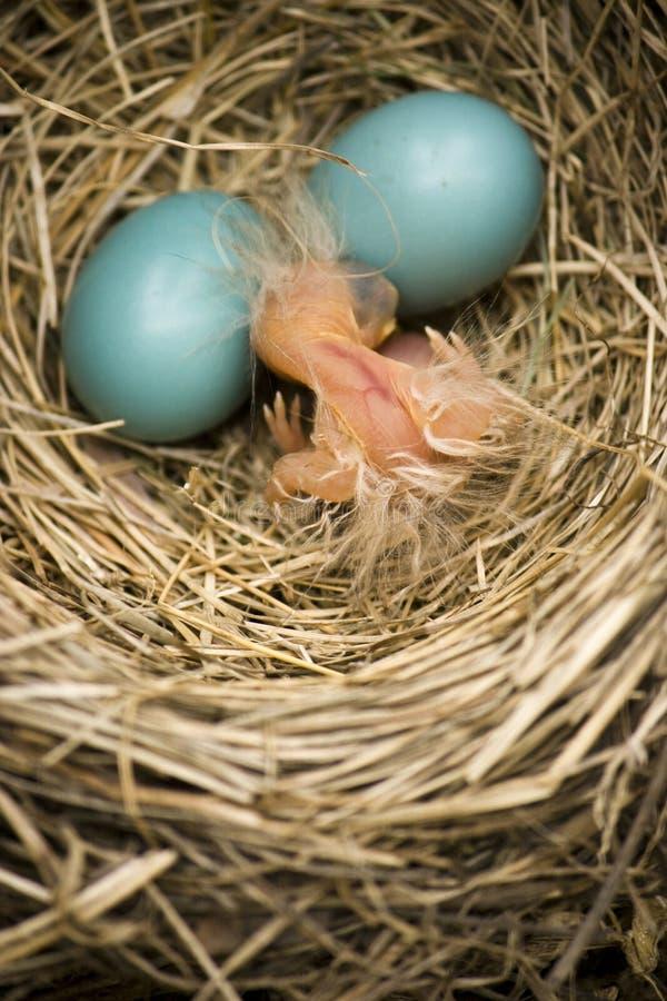 Baby Robin in nest met twee eieren royalty-vrije stock foto