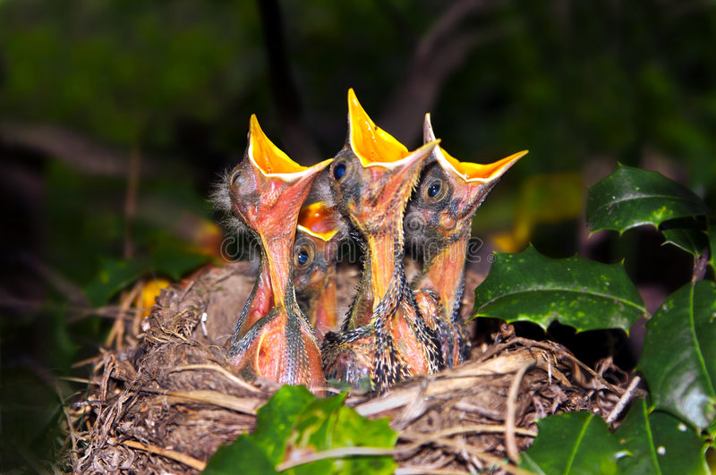 Baby Robins Begging stock photography
