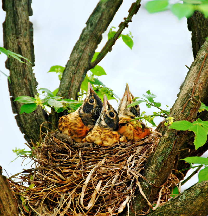 Download Baby Robins in a Nest stock image. Image of babies, baby - 5554201