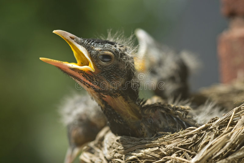 Download Baby Robins in a Nest stock image. Image of fowl, looking - 8711023