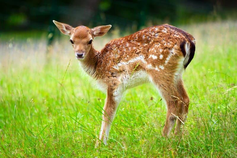 Baby roe deer stock photography
