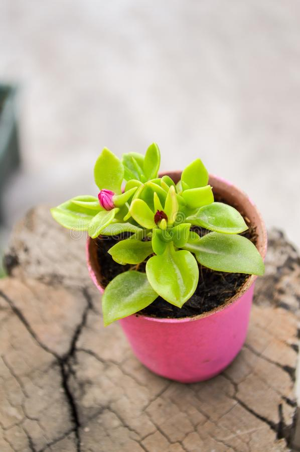 Baby rose flower or aptenia cordifolia flower in pink plastic pot stock photo