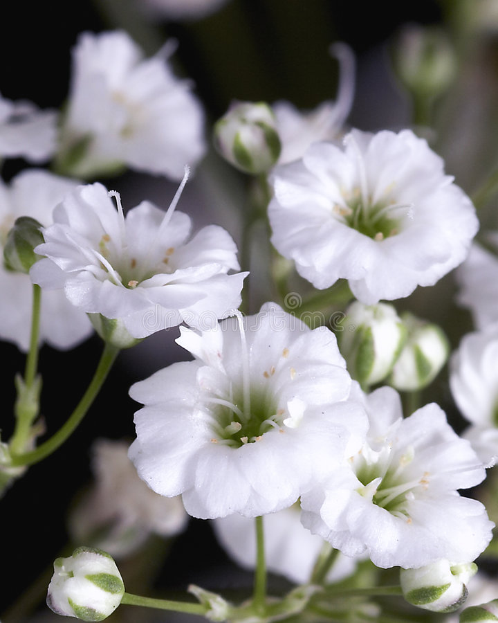 Baby's Breath royalty free stock photography