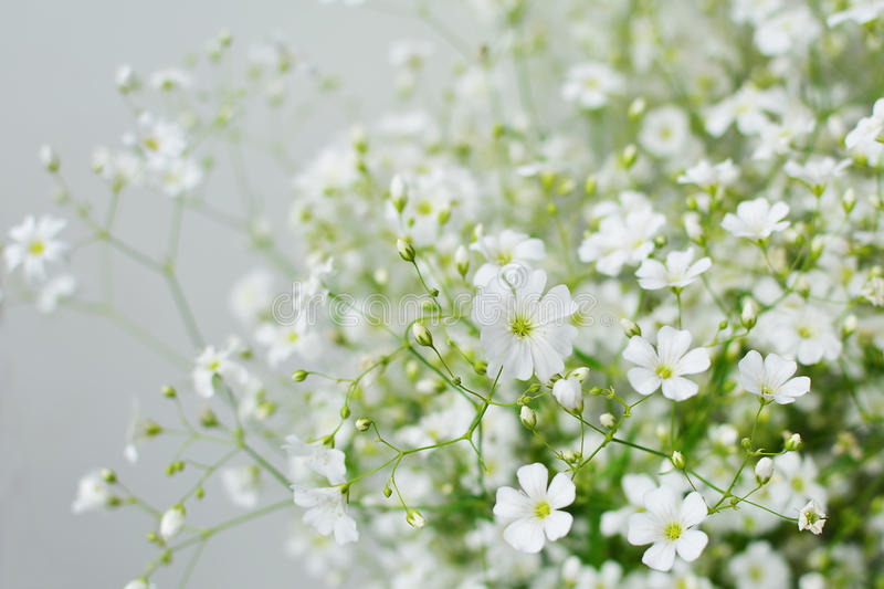 Baby's breath flowers stock photo