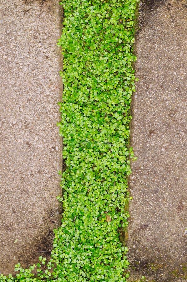 Baby`s tears growing between concrete paving stones. Baby`s tears green leaves growing between grey concrete paving stones stock image