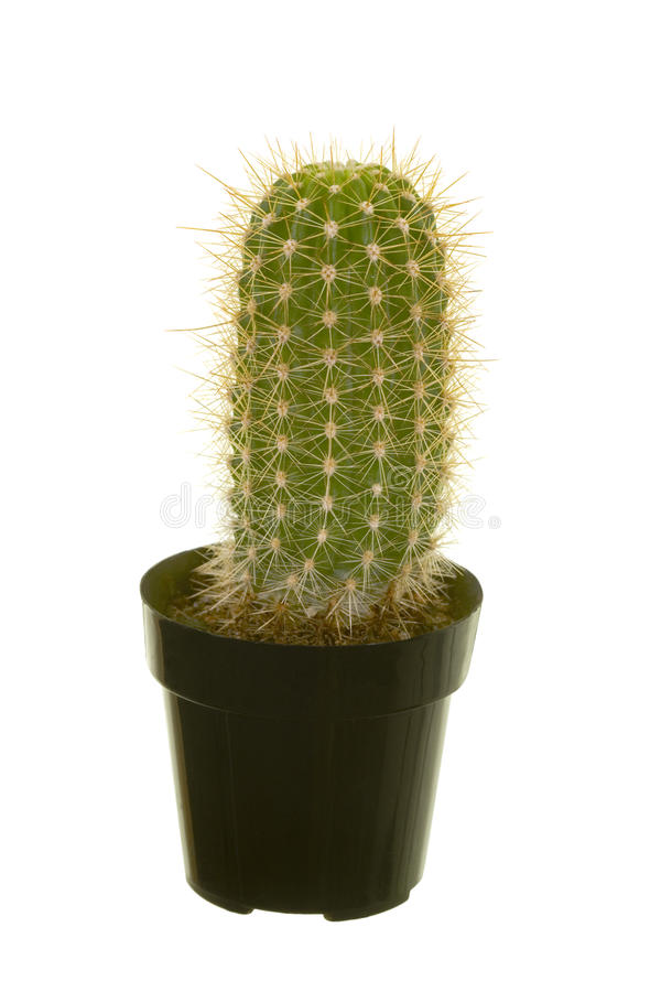 Free Baby Saguaro Cactus Royalty Free Stock Images - 16971059