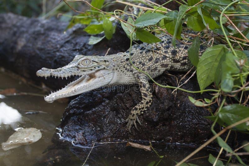 A baby Saltwater crocodile Crocodylus porosus royalty free stock photo