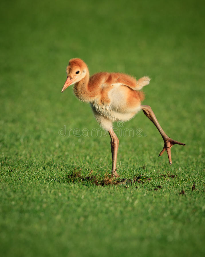 Baby sandhill crane chick, known by name colt. Baby sandhill crane chick hops on one foot royalty free stock image