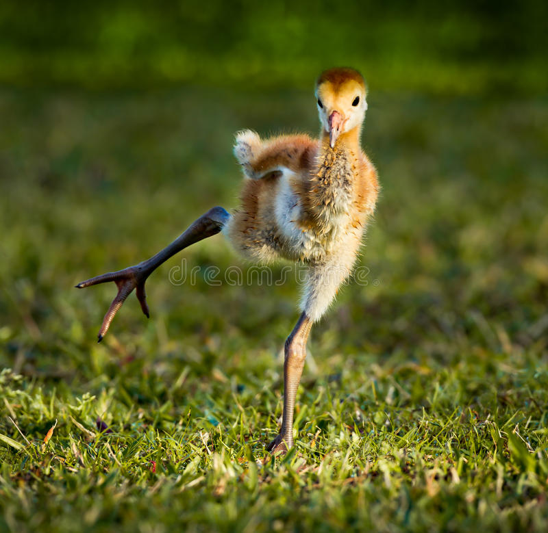 Baby sandhill crane chick practicing walking. At dawn royalty free stock photography