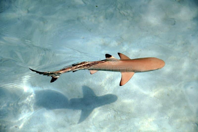 Baby-Schwarz-Tipp-Haifisch-Schwimmen im Wasser des freien Raumes des Pazifischen Ozeans lizenzfreie stockfotografie