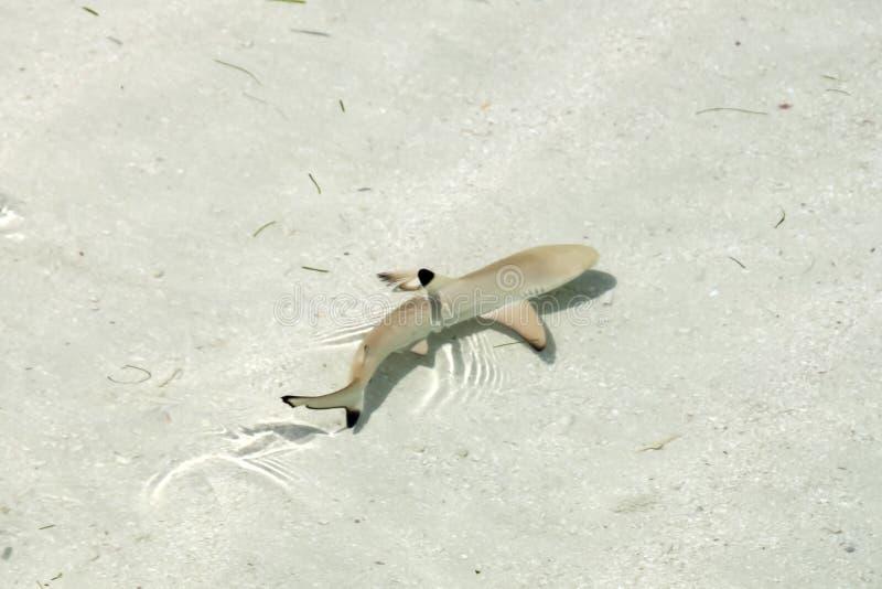 Baby-Schwarz-Tipp-Haifisch-Schwimmen im Wasser des freien Raumes des Pazifischen Ozeans stockbild