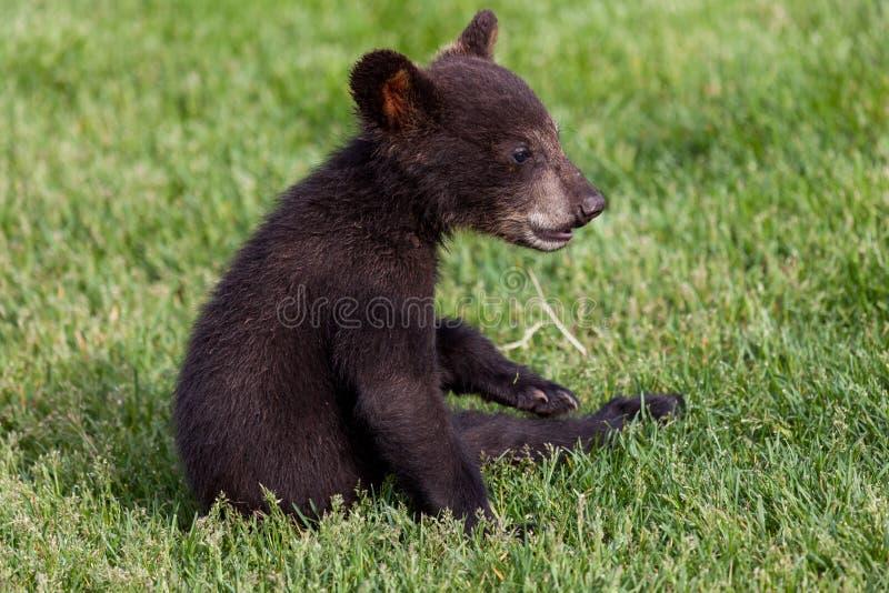 Baby-schwarzer Bär, der im Gras sitzt lizenzfreies stockfoto