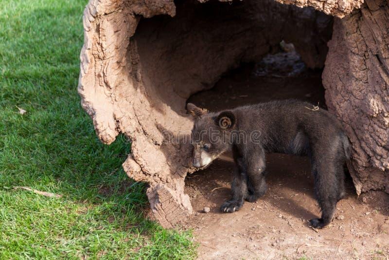 Baby-schwarzer Bär durch einen Klotz stockbild