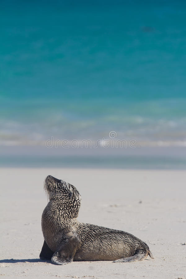 Download Baby sea lion on the beach stock photo. Image of lion - 22106970
