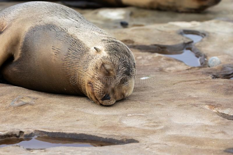 Baby Sea Lion Pup sleeping on the rocks royalty free stock photography