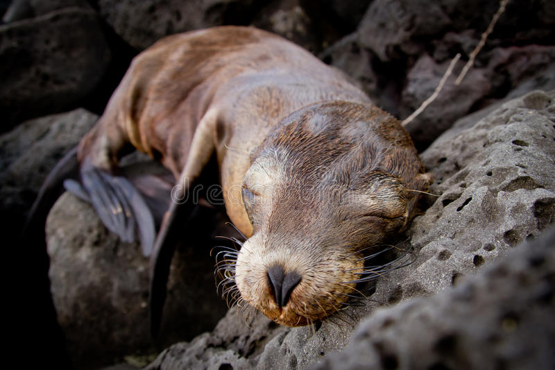 Baby sea lion sleeping in the Galapagos Islands royalty free stock images