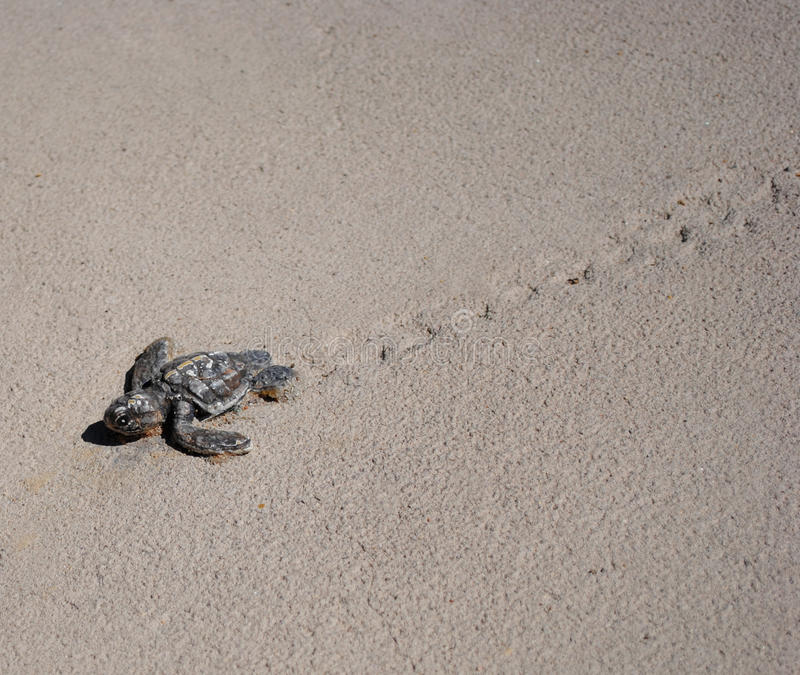 Baby Sea Turtle. A baby sea turtle working its way through the sand royalty free stock photography