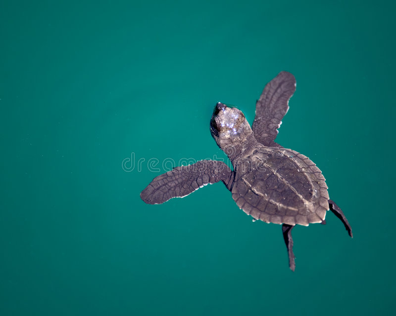 Baby Sea Turtle in ocean. Overhead view of baby Sea Turtle swimming in blue ocean royalty free stock photo