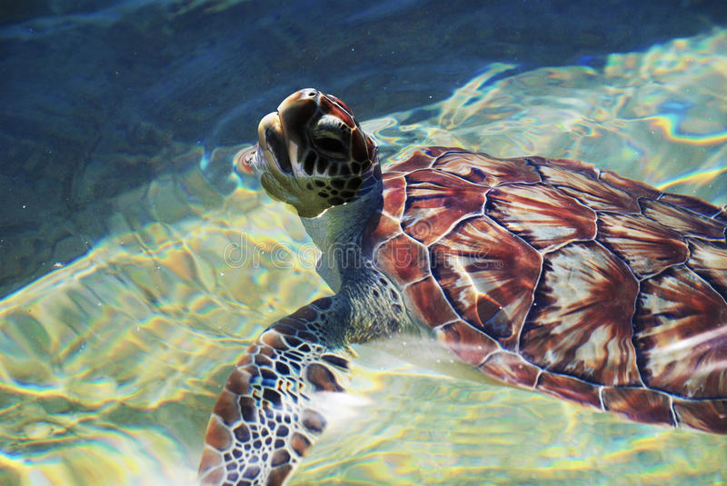 Baby Sea Turtle Swimming. In beautiful, clear water. The turtle is coming up for air royalty free stock images