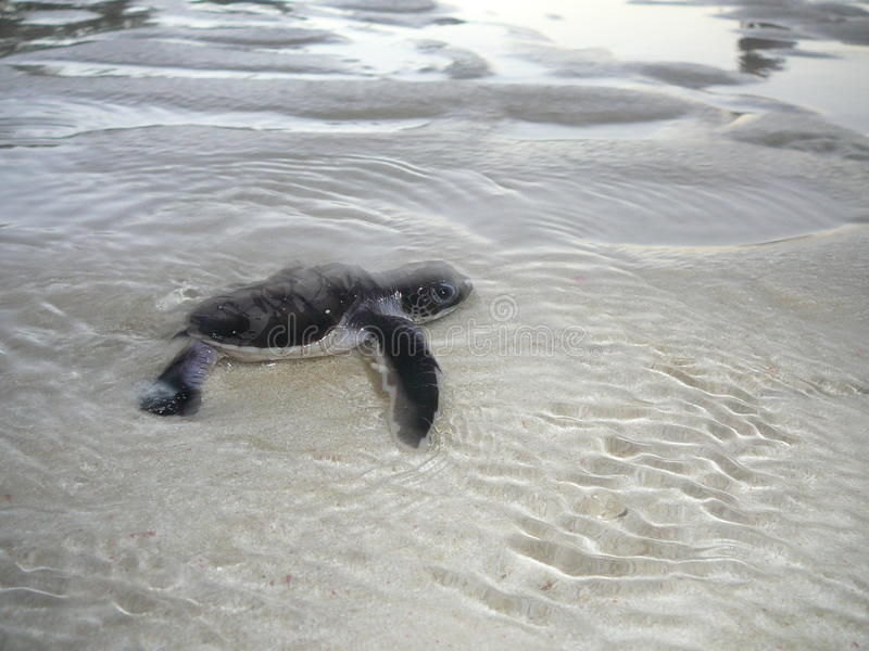 Baby sea turtle in the water. Baby sea turtle reaches the ocean after a long beach run stock image