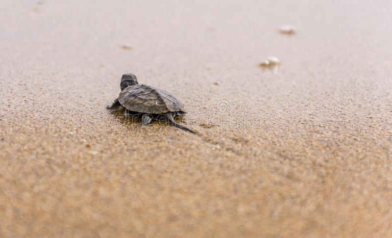 Baby sea turtlehatchling on a sandy beach,trying to find it`s way in to the ocean.Corfu Greece.  stock photos