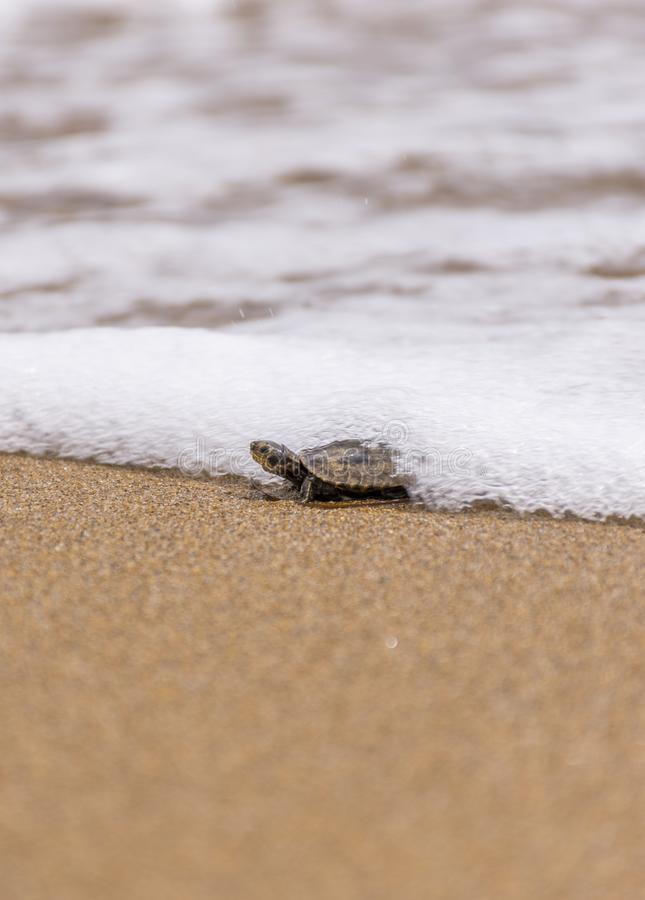 Baby sea turtlehatchling on a sandy beach,trying to find it`s way in to the ocean.Corfu Greece.  stock image