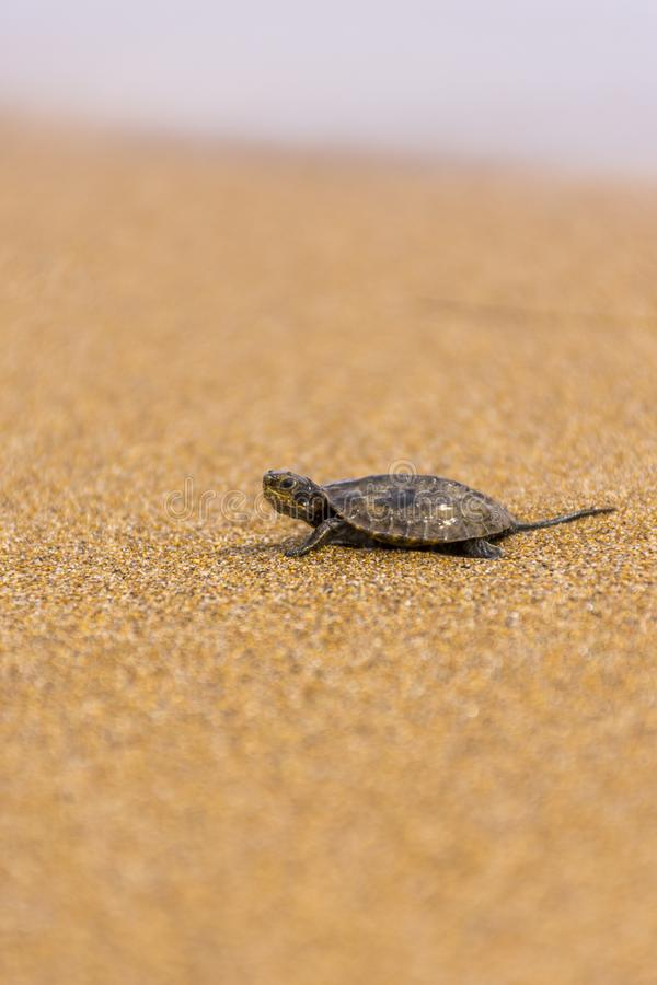 Baby sea turtlehatchling on a sandy beach,trying to find it`s way in to the ocean.Corfu Greece.  stock photo