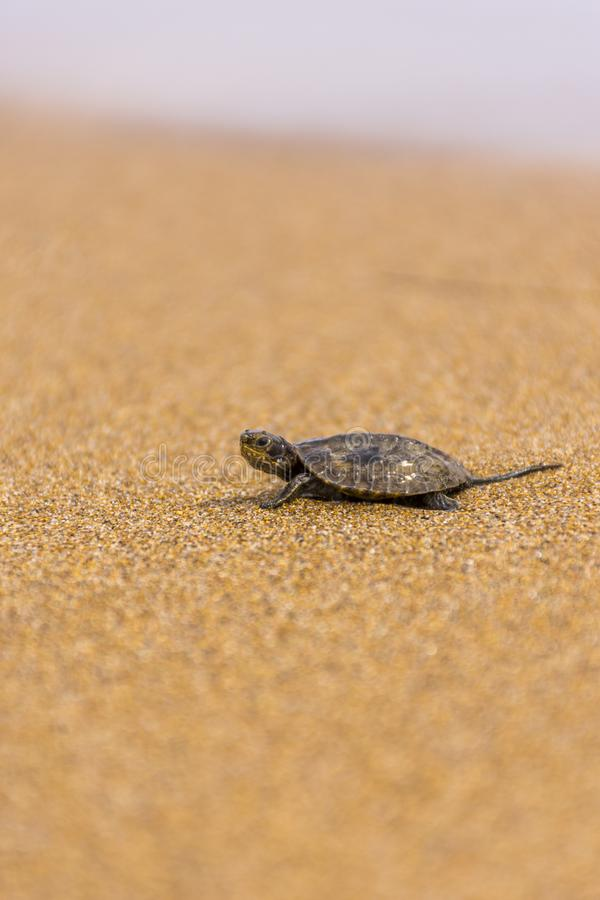 Baby sea turtlehatchling on a sandy beach,trying to find it`s way in to the ocean.Corfu Greece.  royalty free stock photo
