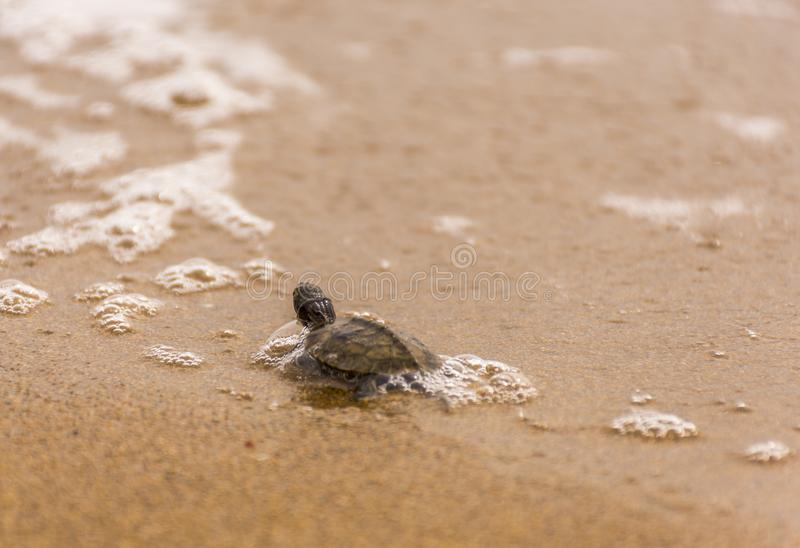 Baby sea turtlehatchling on a sandy beach,trying to find it`s way in to the ocean.Corfu Greece.  royalty free stock image