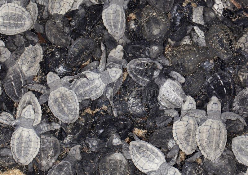 Download Baby Sea Turtles Royalty Free Stock Photo - Image: 21964885