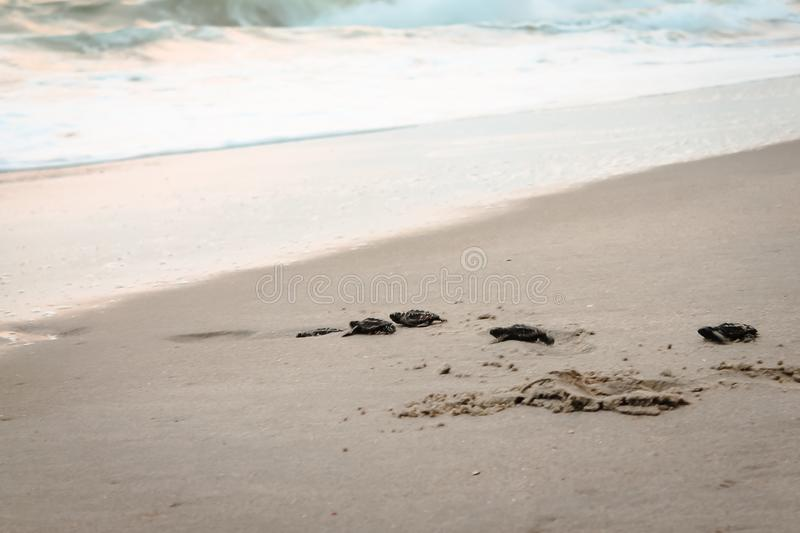 Baby Sea Turtles crawling towards the Atlantic Ocean stock photos