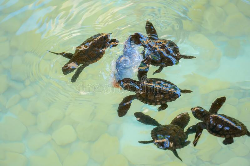 Baby sea turtles swimming and catching food stock photography