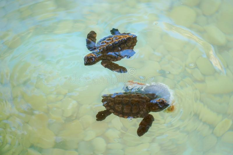 Baby sea turtles swimming and catching food stock images