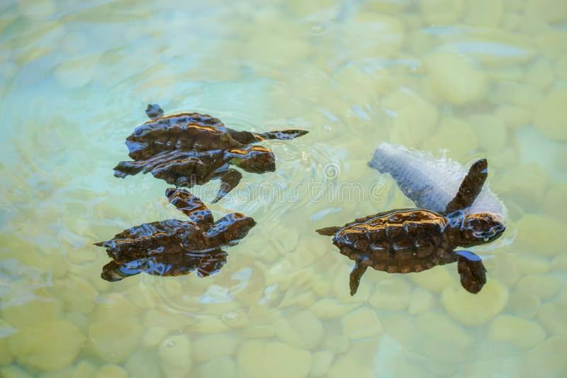 Baby sea turtles swimming and catching food stock photos