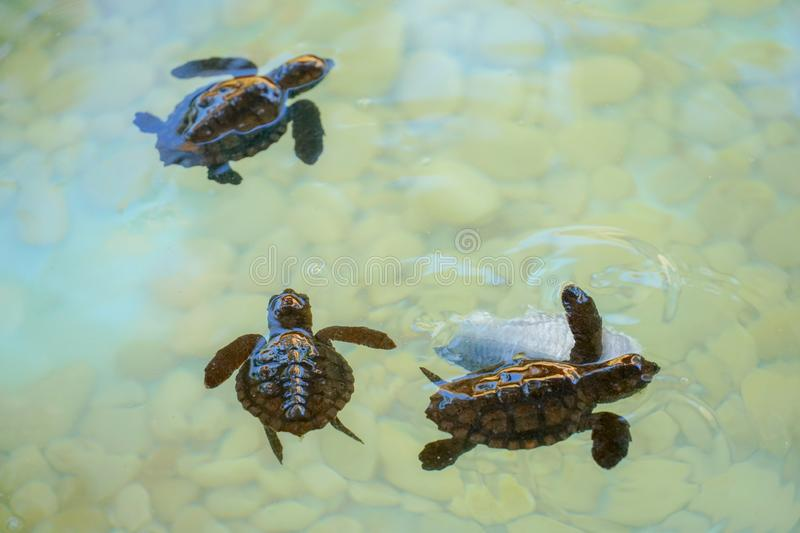 Baby sea turtles swimming and catching food royalty free stock image