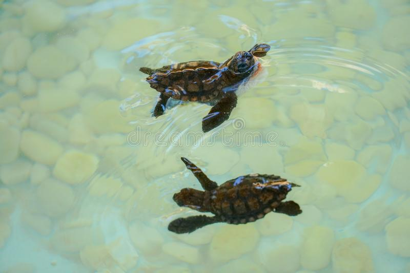 Baby sea turtles swimming and catching food royalty free stock photos