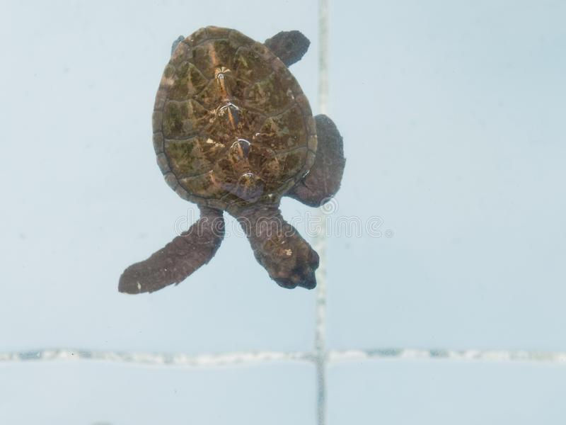 Baby Sea turtles swimming in nursery pond or aquarium in conservation center stock image