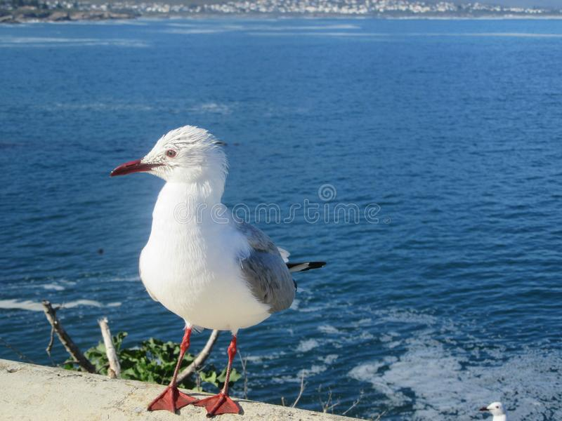 Baby Seagull Stock Images - Download 818 Royalty Free Photos