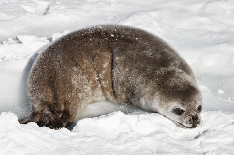Download Baby seal stock image. Image of face, peaceful, mouth - 23449977