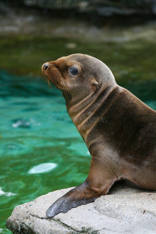 Free Baby Seal 3 Royalty Free Stock Photos - 6784488