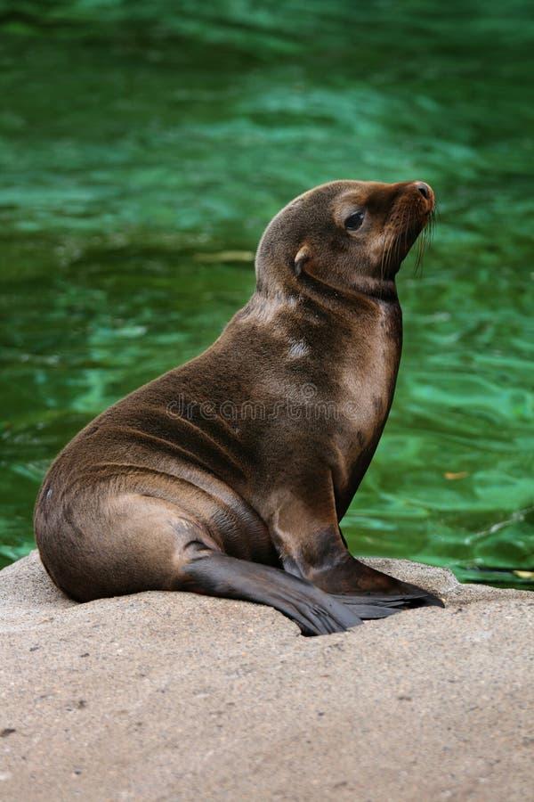 Free Baby Seal 4 Royalty Free Stock Image - 6784496