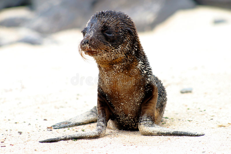 Baby Seal. On beach in Galapagos stock images