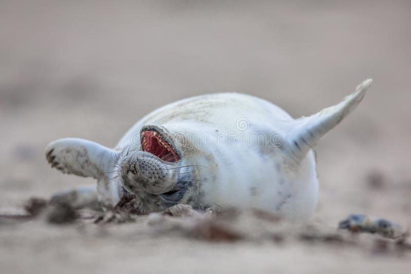baby seal laughing out loud royalty free stock image