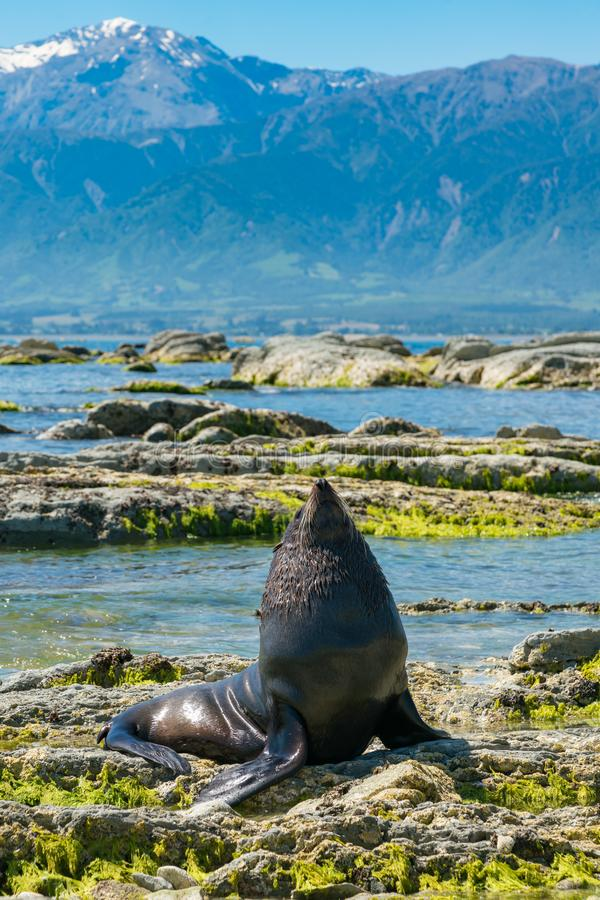 Baby seal playing on rock seacoast royalty free stock photos