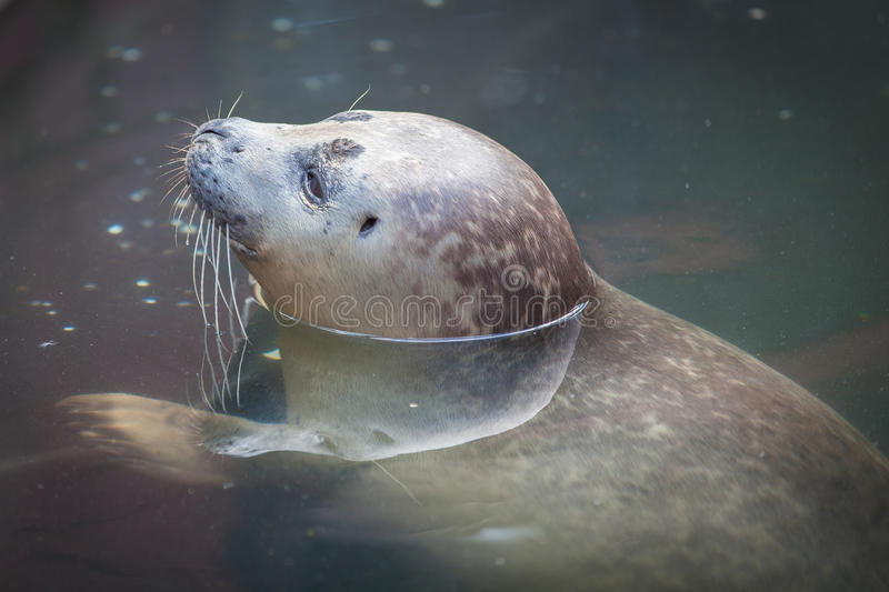 Download Baby seal pup stock photo. Image of nature, gray, swimming - 25931364