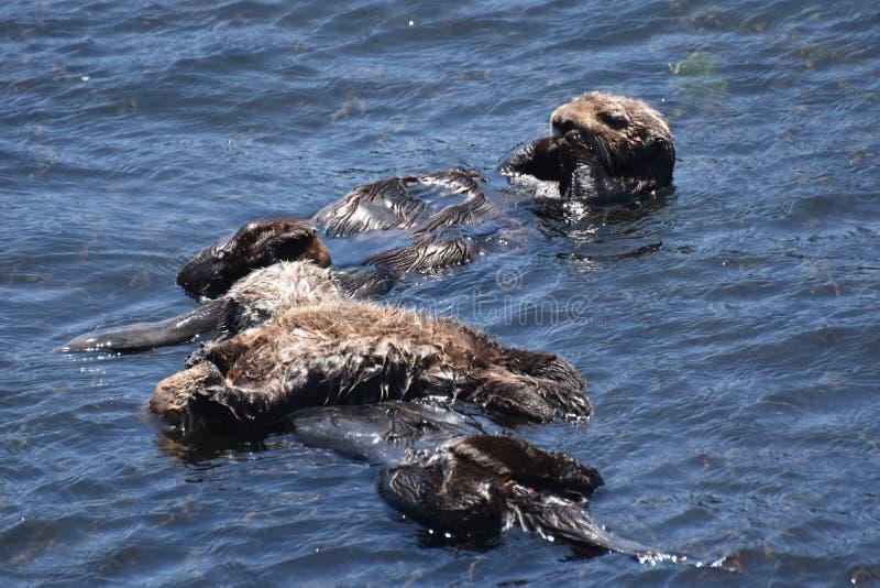 Baby-Seeotter-Welpe mit seiner Mutter und Vati, die in den Pazifik schwimmen stockbilder