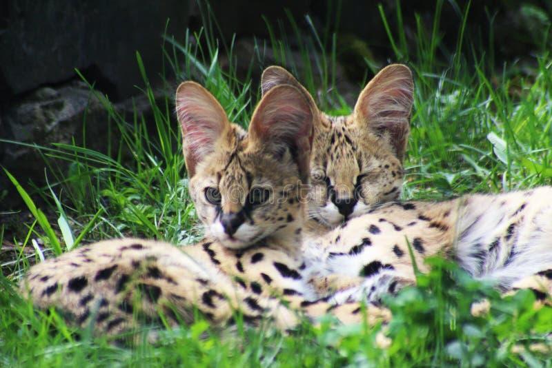 Baby serval katten in gras royalty-vrije stock afbeeldingen