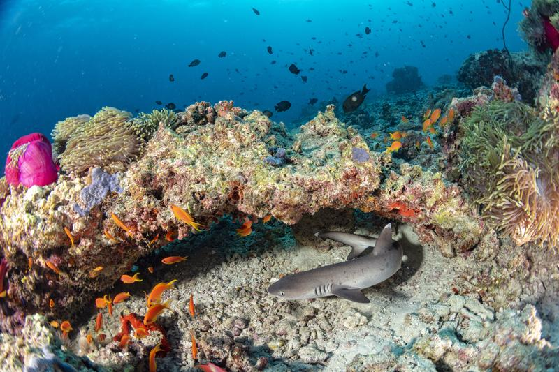 Baby shark in colorful underwater landscape with anemone Clown fish on deep blue ocean stock images