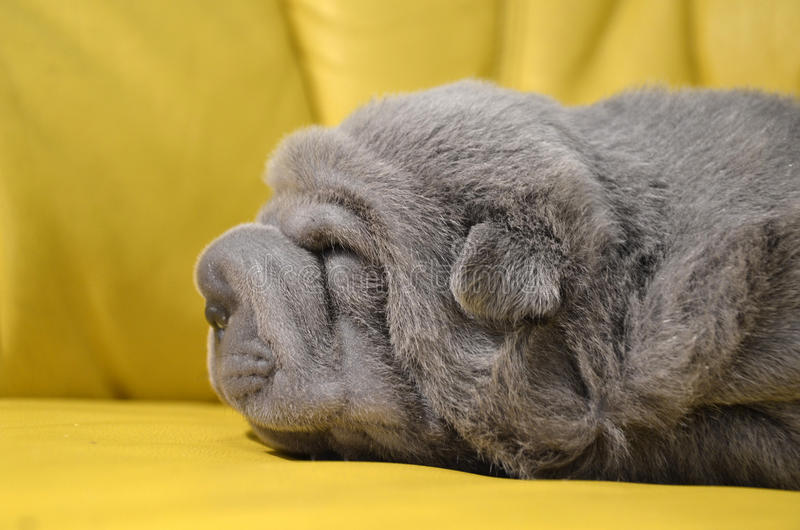 Download Baby Sharpei Puppy Sleeping Stock Image - Image of sharpei, lilac: 27649129