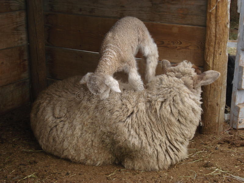 Download Baby Sheep Climbing Mother Royalty Free Stock Photos - Image: 12993808